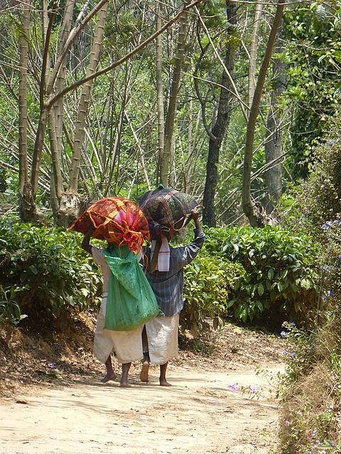 Bringing the tea harvest in