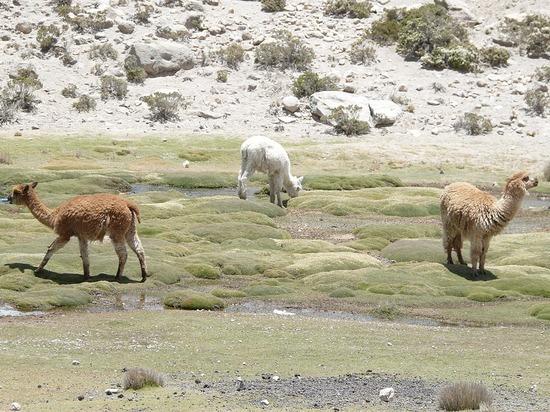 Colca Trip - Alpacas 2