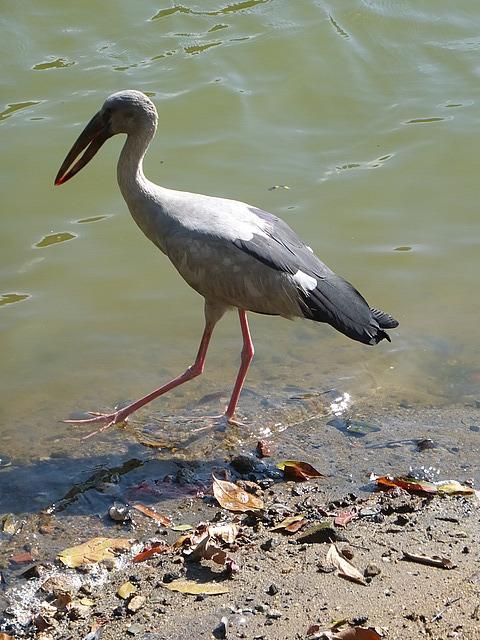 Ugly bill bird