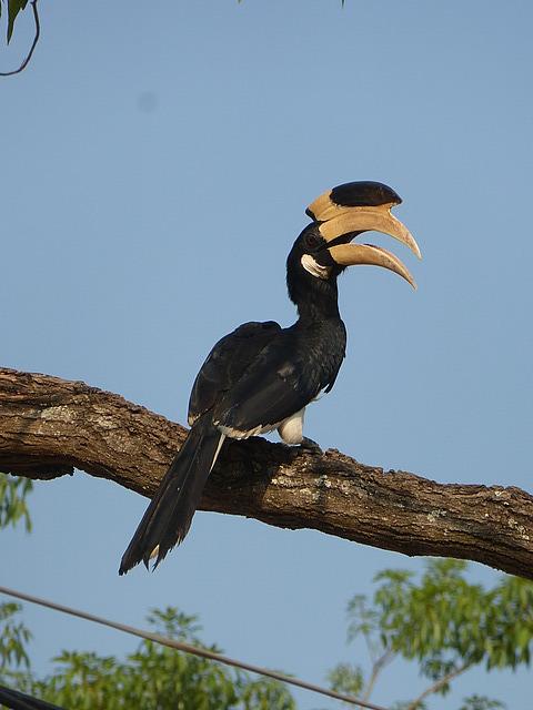 Kataragama - Hornbill