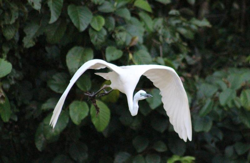 Egret in flight 1