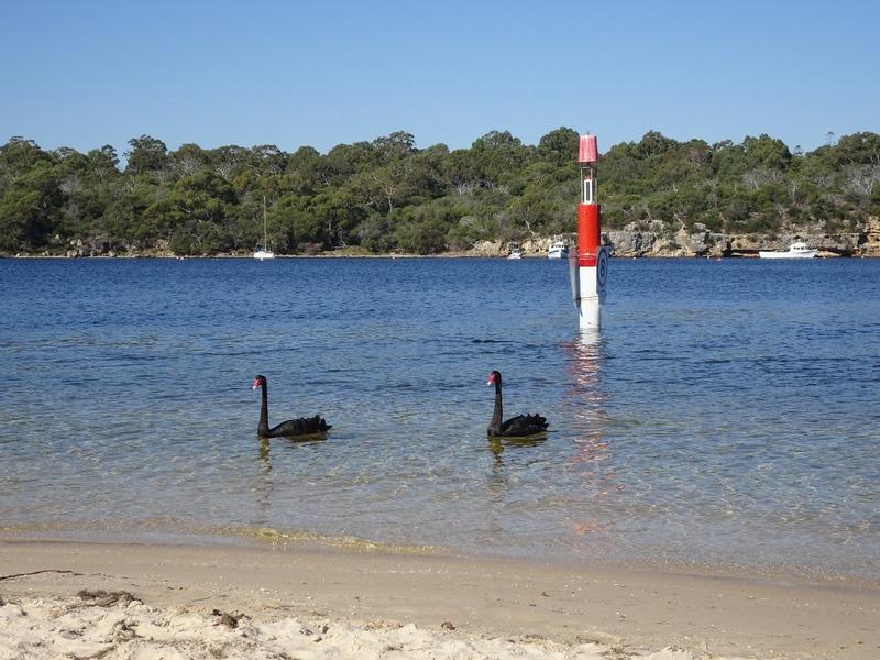 Picnic Spot - Black Swans