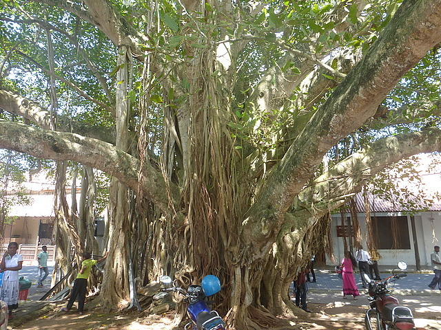 Enormous banyan tree in Court Square