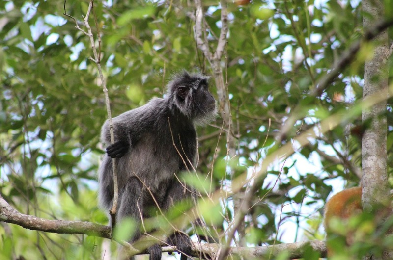 Silver Leaf Lemur monkey male