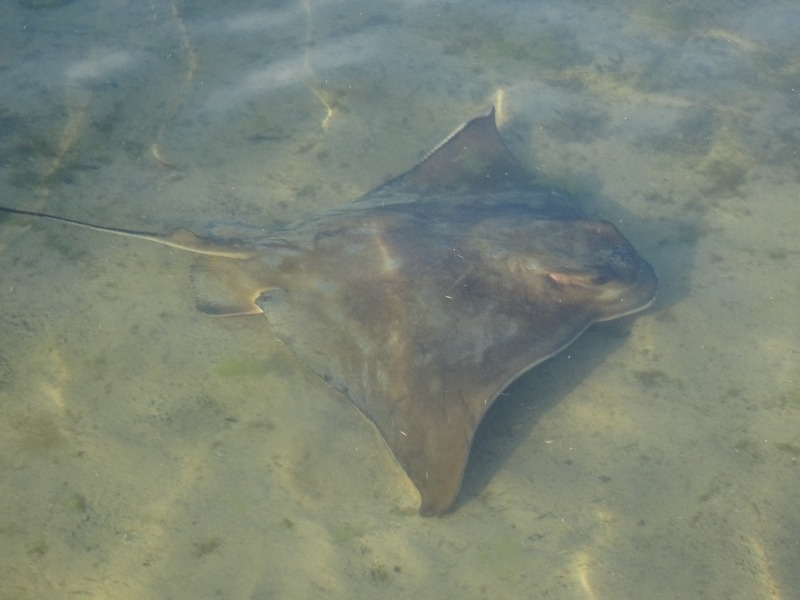 Augusta by the river - Eagle Ray