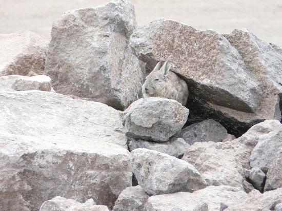 Colca Trip - Spot the chinchilla!