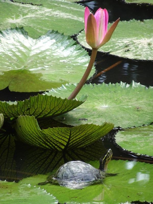 Sandakan Memorial Park - terrapin and lotus 2