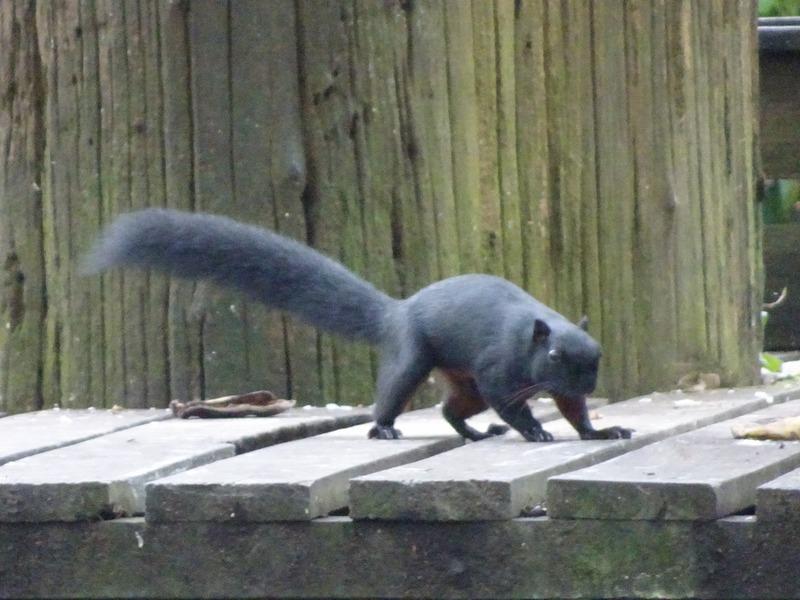 SORC- Squirrel checks out feeding platform
