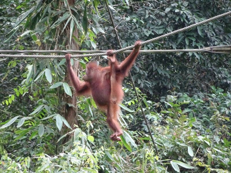 SORC - Orang-utan hanging around