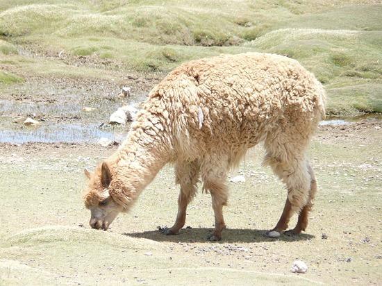 Colca Trip - Alpaca