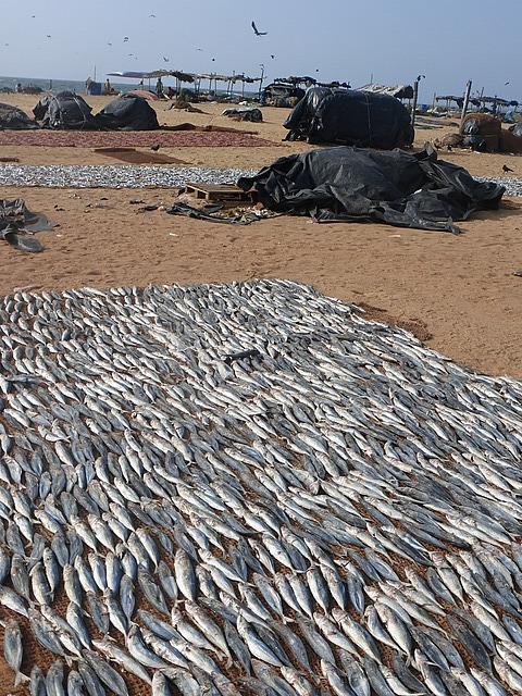 Drying fish 1