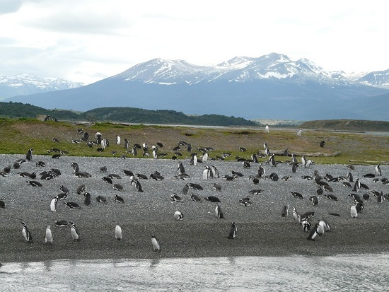 Day 4 - Beagle Channel Trip - Penguins 1