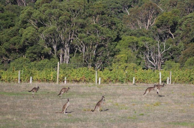 Kangaroos (off road past the wineries)