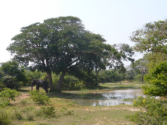 Yala scenery 7   male elephant