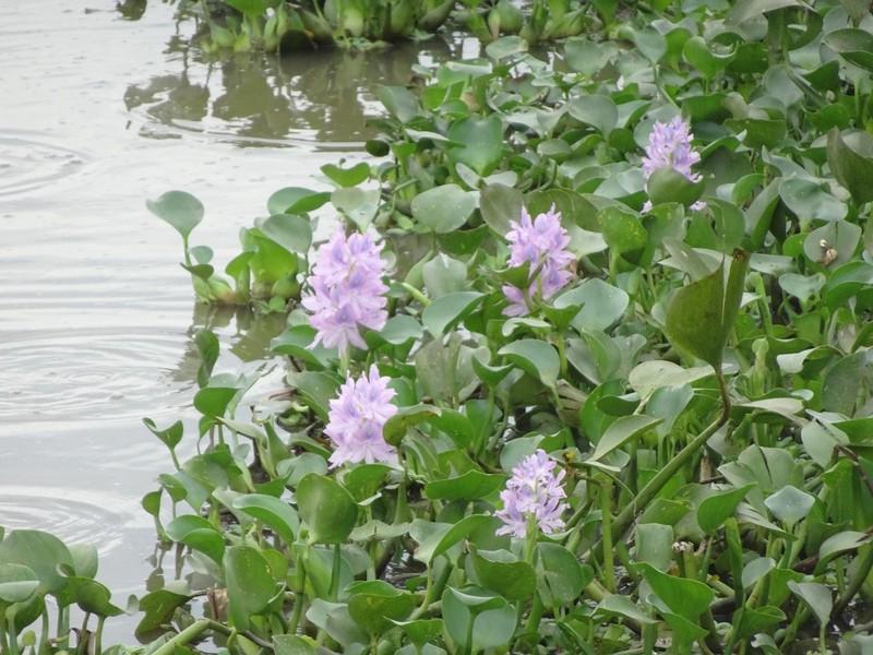 Pantanal Part 1 - Jaguar Extreme Tour: Transpantanal Highway - Water Hyacinths