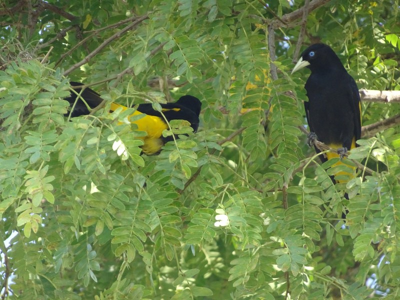 Pantanal Extreme Tour - Day 2 - Yellow Rumped Caciques and nests