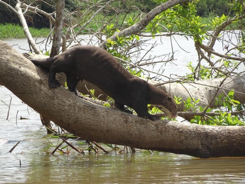 Pantanal Extreme Tour - Day 3 - Giant Rover Otter