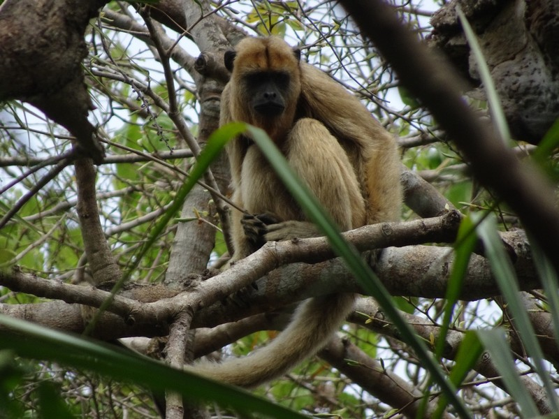Pantanal Extreme Tour - Day 3 - Black and Gold Howler Monkey