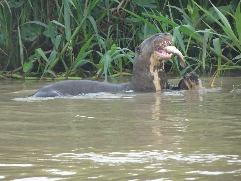 Pantanal Extreme Tour - Day 4 - Great River Otter