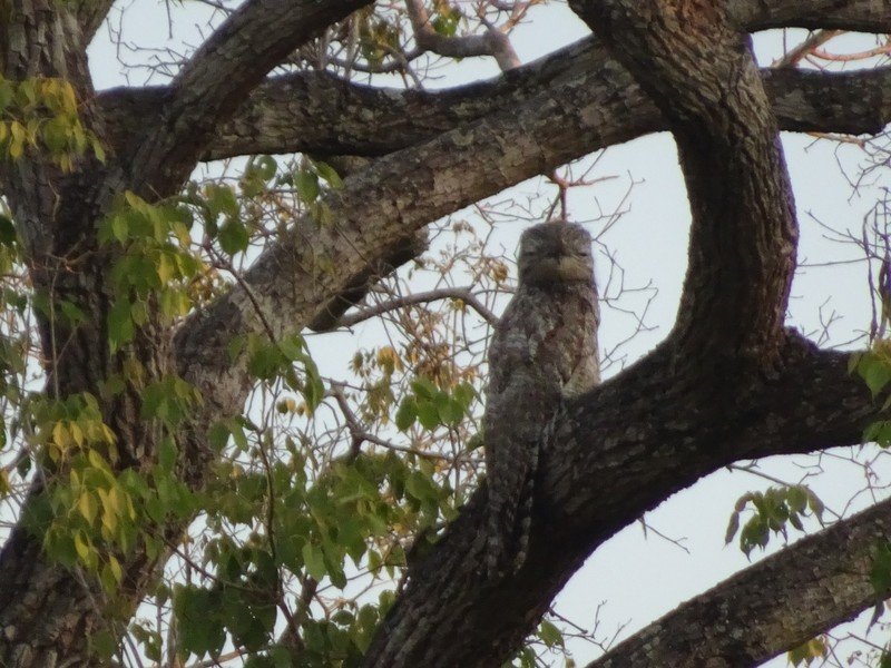 Great Potoo (nests in tree off the track to the lodge)