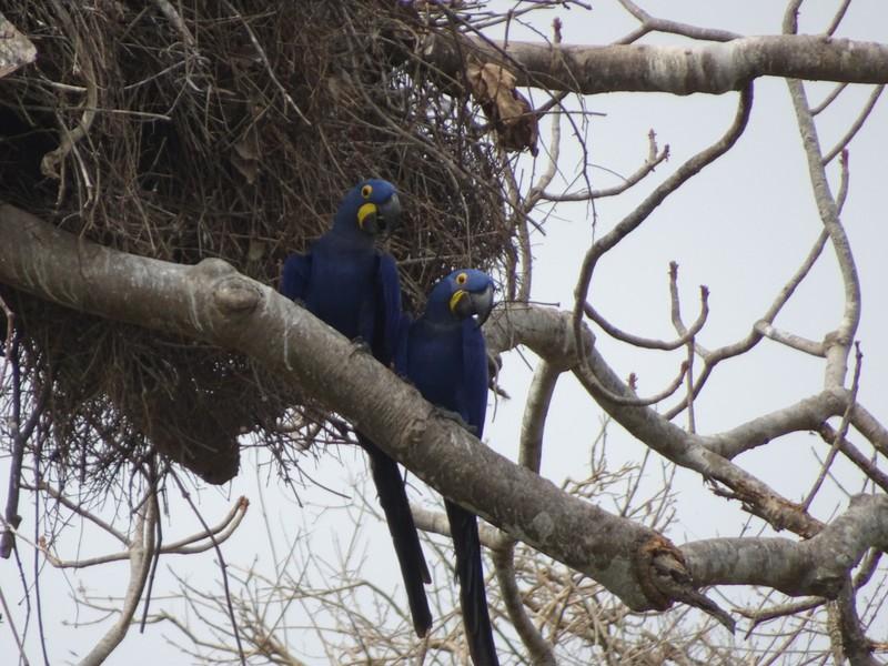 Three Bridges walk - The Tree - Hyacynth Macaws