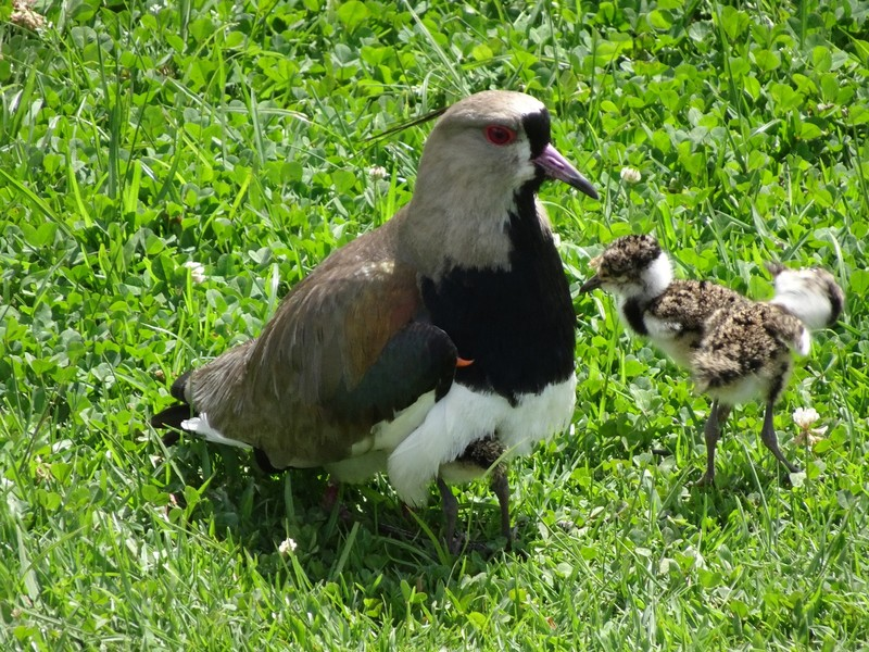 Curitiba Jardim Botanic - Southern Lapwing - stoical whilst being hassled by Sunday afternoon visitors!