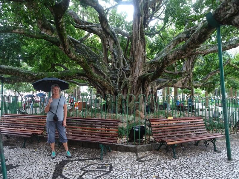 The BIG TREE in Praca XV Septembre
