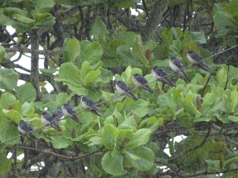Santo Antonio de Lisboa - swallows resting in the rain near the restaurant