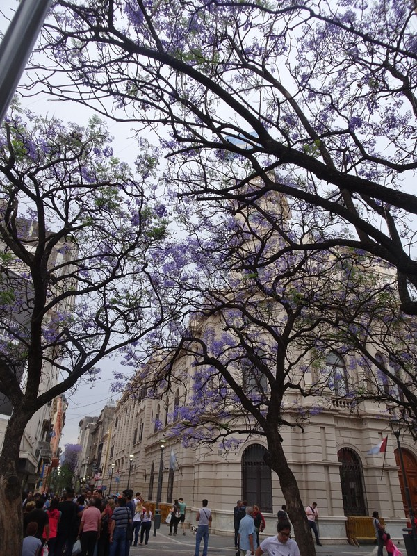 Cordoba - central pedestrian area with jacaranda tree in blossom