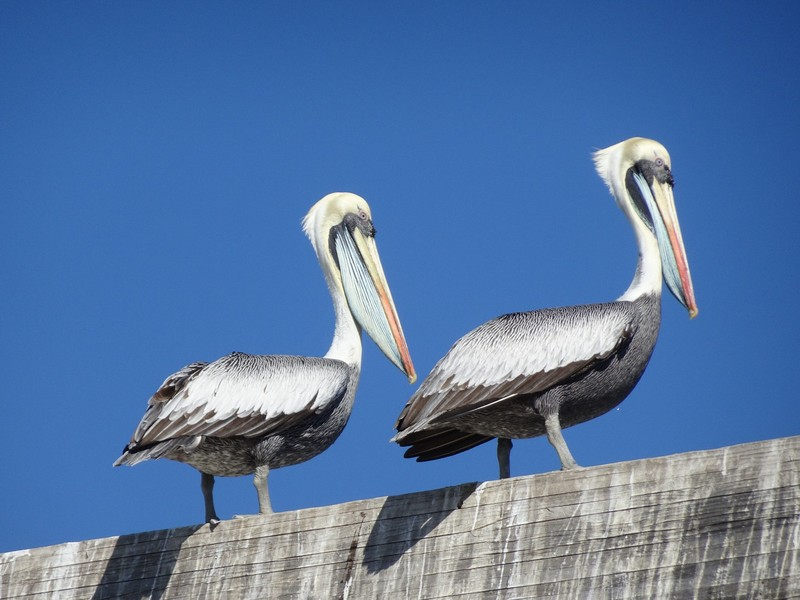 Pelicans at Portales (metro stop on way back from Vina del Mar)