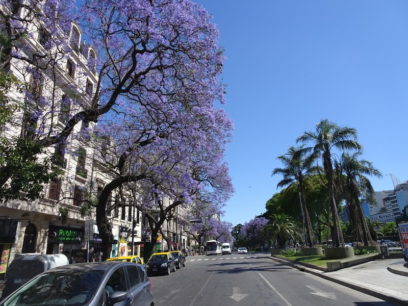 Avenida 9 de Julio - Jacaranda tree in full blossom