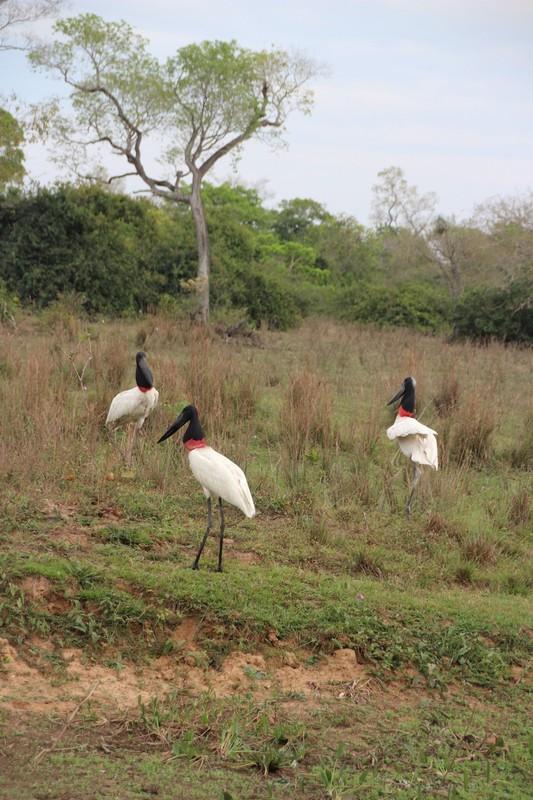 Pantanal Extreme Tour - Pantaneira Highway - Jabiru Storks