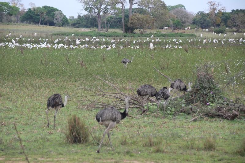 Pantanal Extreme Tour - Pantaneira Highway - Rheas and egrets etc