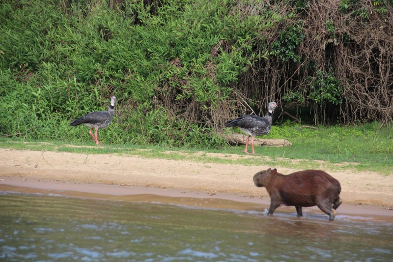 Pantanal Extreme Tour - Day 1 - Capybara and Southern Screamer birds