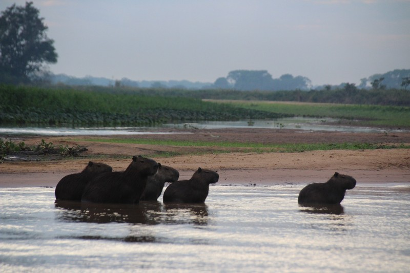 Pantanal Extreme Tour - Day 3 - Capybaras