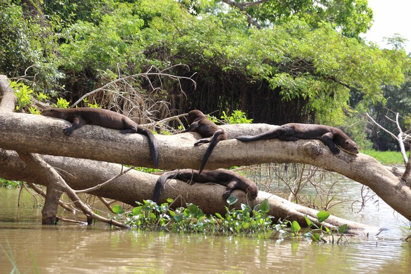 Pantanal Extreme Tour - Day 3 - Giant River Otters