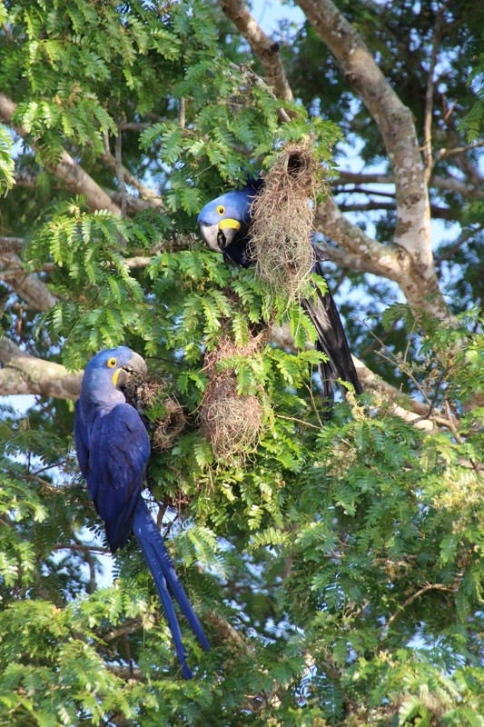 Pantanal Extreme Tour - Hyacinth Macaws