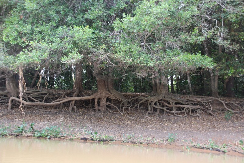 Pantanal Extreme Tour - Day 3 - tree roots showing water level in wet season