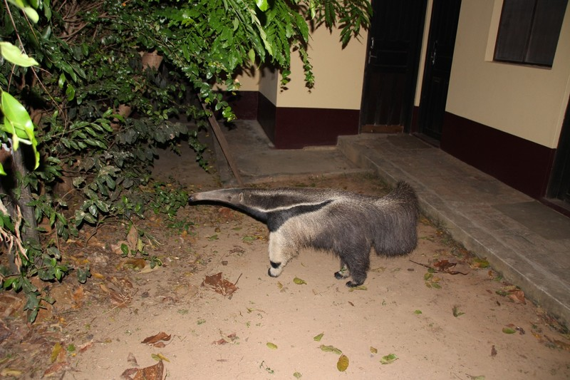 Visitor to lodge in evening - Giant Anteater!