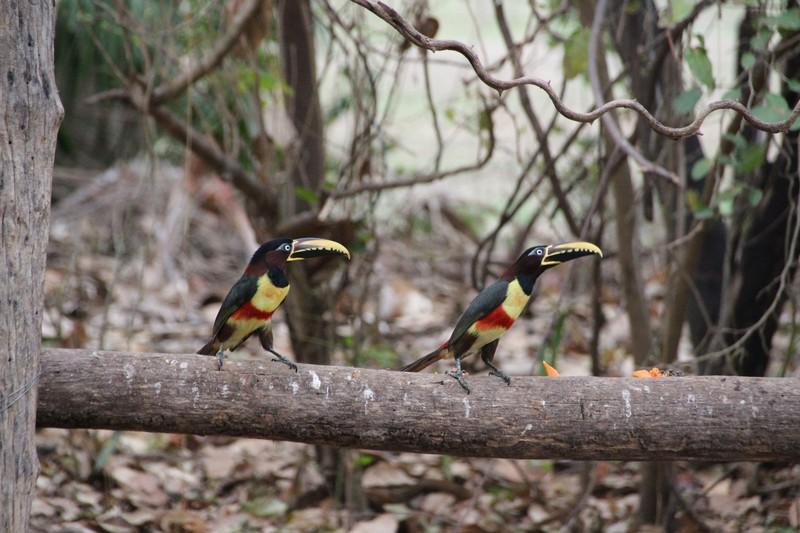 Visitors in morning that like the Papaya peelings! - Chestnut Eared Aracaris (like small Toucan)