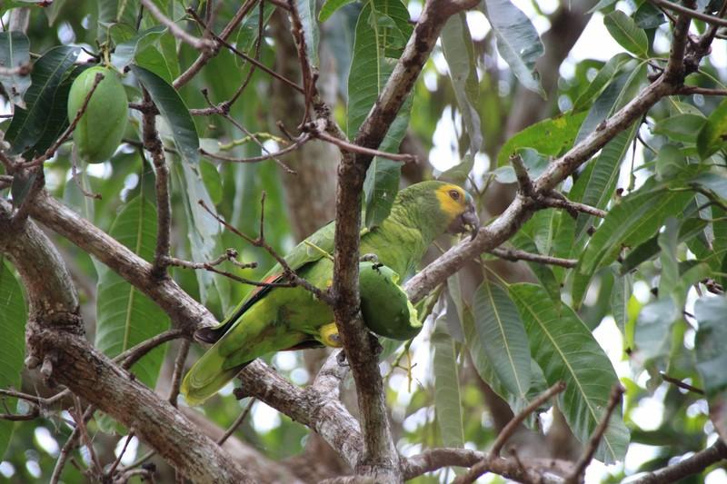 Yellow faced Parakeets eating mangos!