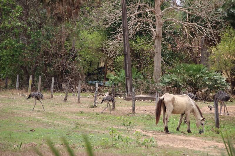 Horse and rheas