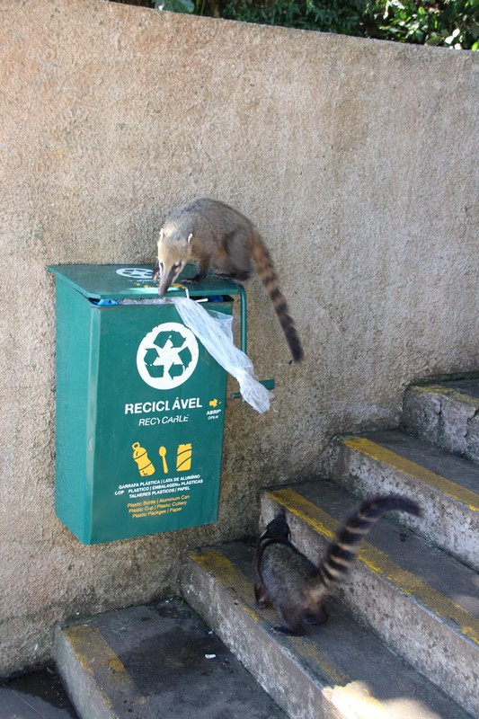 Iguacu Brazil - Coati raiding waste bin