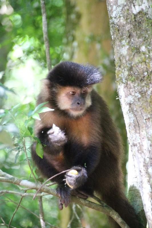 Iguazu Falls Argentina - Capuchin Monkey