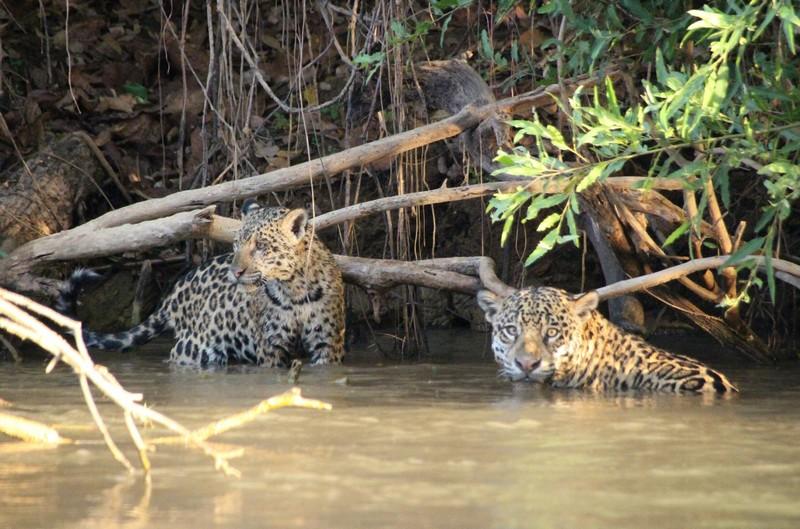 Jaguar Camp boat trip day 1 - Female and juvenile jaguar