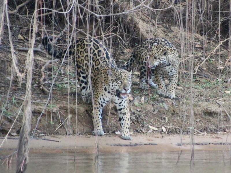 Pantanal Extreme Tour - Jaguar and Juvenile Day 1
