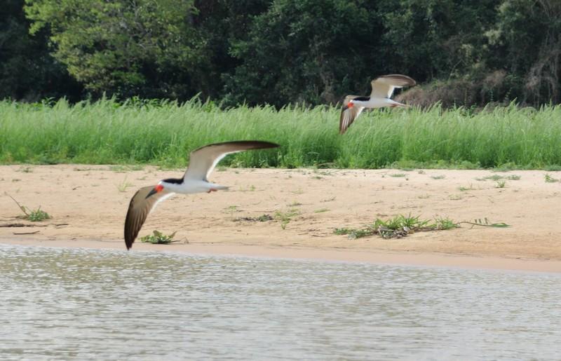 Pantanal Extreme Tour - Black Skimmers