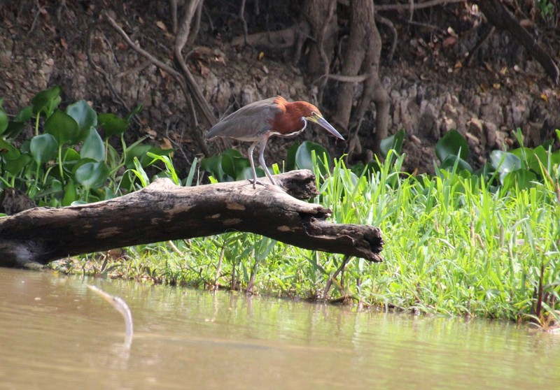 Pantanal Extreme Tour - Day 1 - Rufescent Tiger Heron