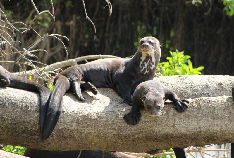 Pantanal Extreme Tour - Day 2 - Giant River Otter