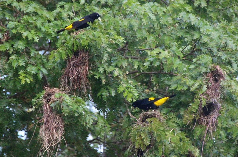 Pantanal Extreme Tour - Day 2 - Yellow Rumped Caciques